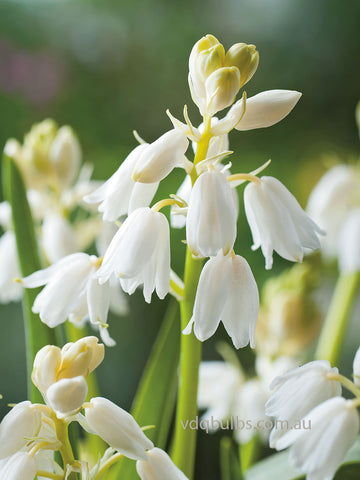 Scilla hispanica Alba - Spanish White Bells