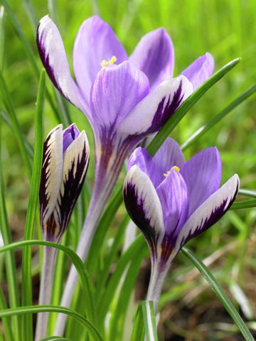 "sieberi ""Spring Beauty"" - Crocus"