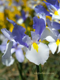 Silver Beauty - Dutch Iris