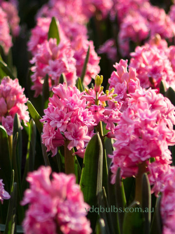 Spring Beauty - Hyacinth
