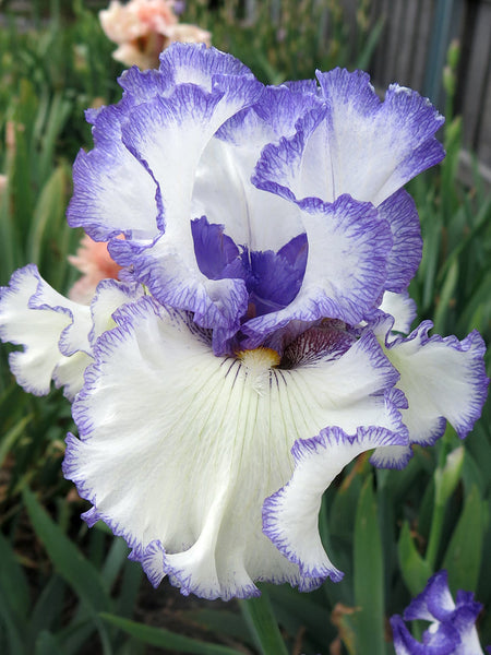 Star Of The Morn - Bearded Iris