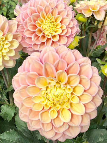 Sugartown Sunrise - Dahlia
