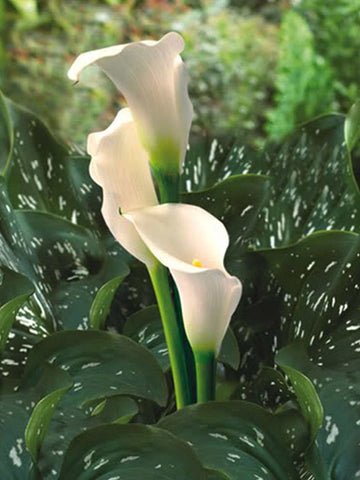 Swan Lake - Zantedeschia