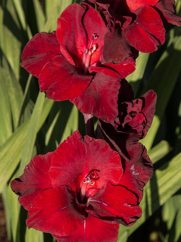 Sweet Shadow - Gladioli