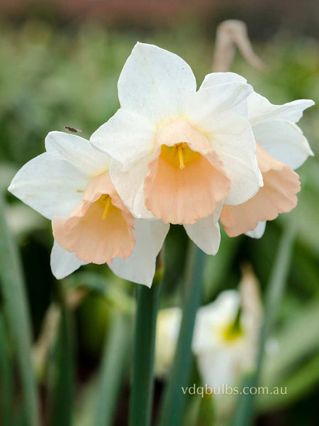 Sweet Smiles - Daffodils