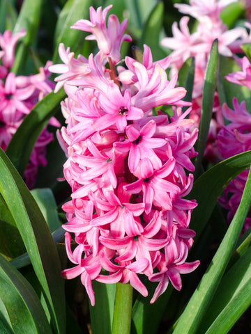 Sweetheart - Hyacinth