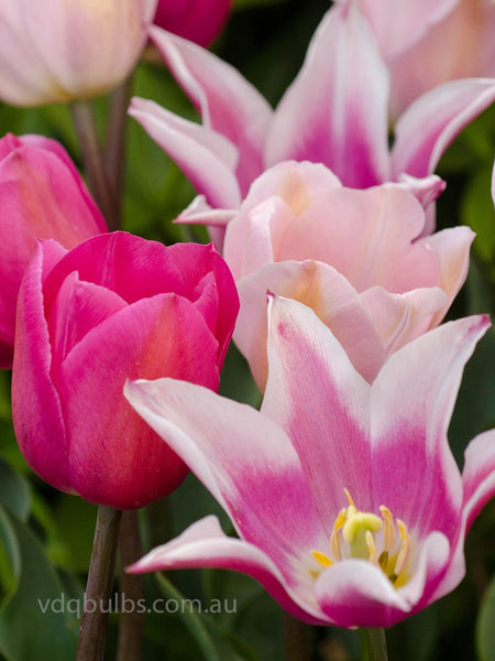 Tres Chic Blend - Tulips