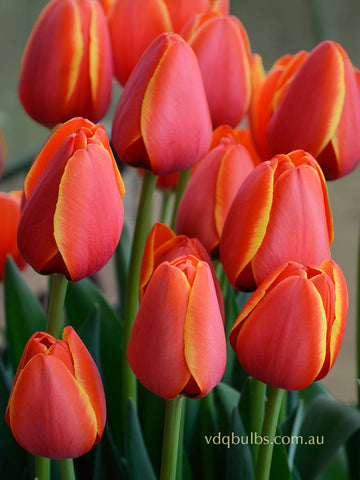World's Favourite - Tulip