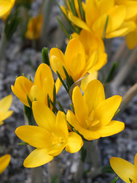 Yellow - Crocus