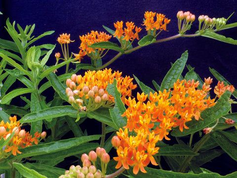 01159 - Butterfly Weed