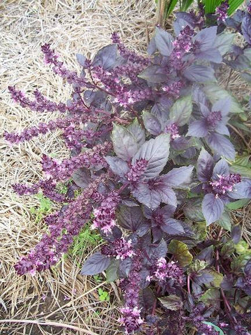 Basil, Holy HERB / NATIVE PLANT