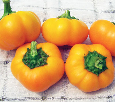 Napoleon Sweet PEPPER, BELL (SWEET) .5g seed, USDA Certified Org