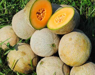Plum Granny (Queen Anne Pocket Melon) MUSKMELON .5g seed