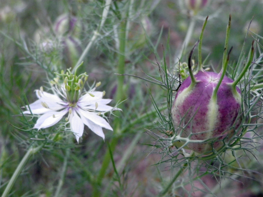 01605 - Love-in-a-Mist Mixed Colors Nigella