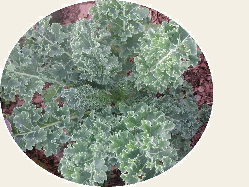 Red Russian KALE 2g seed, USDA Certified Organic