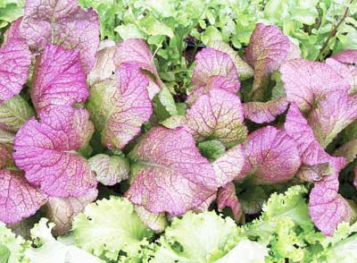 Southern Giant Curled MUSTARD 2g seed, USDA Certified Organic
