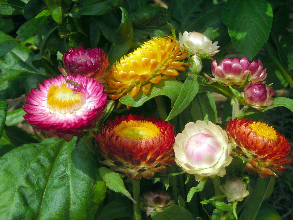 01608 - Strawflower Tall Mix