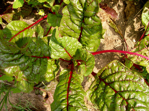 32102 - Ruby Red (Rhubarb Chard)