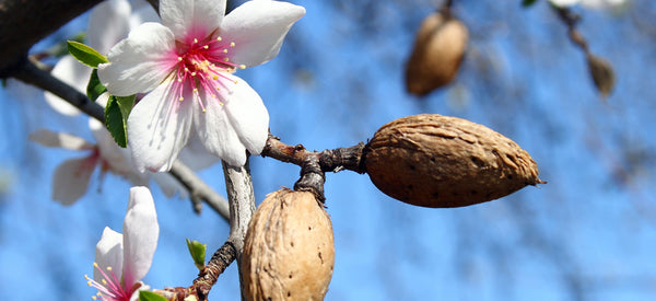THE HEALTH AND WELLNESS BENEFITS OF ALMONDS