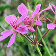 Alpine Willowherb