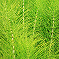 Horsetail (Equistum arvense) leaf powder