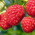 Raspberry (Rubus chingil) fruit powder