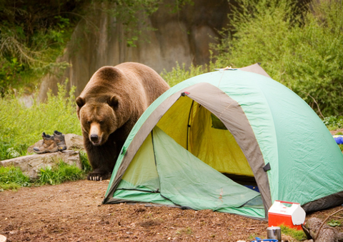 Bear next to a green tent in the wilderness