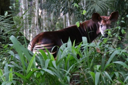 The Okapi