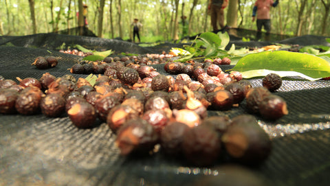 farmers harvesting soap nuts