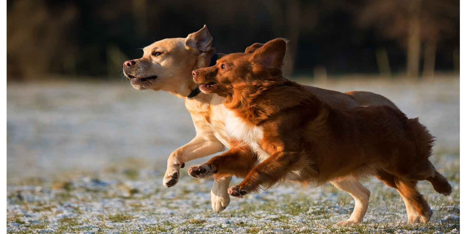Two brown dogs running side by side on field