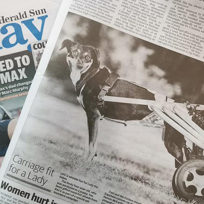 News clip of Lady, the paraplegic dog