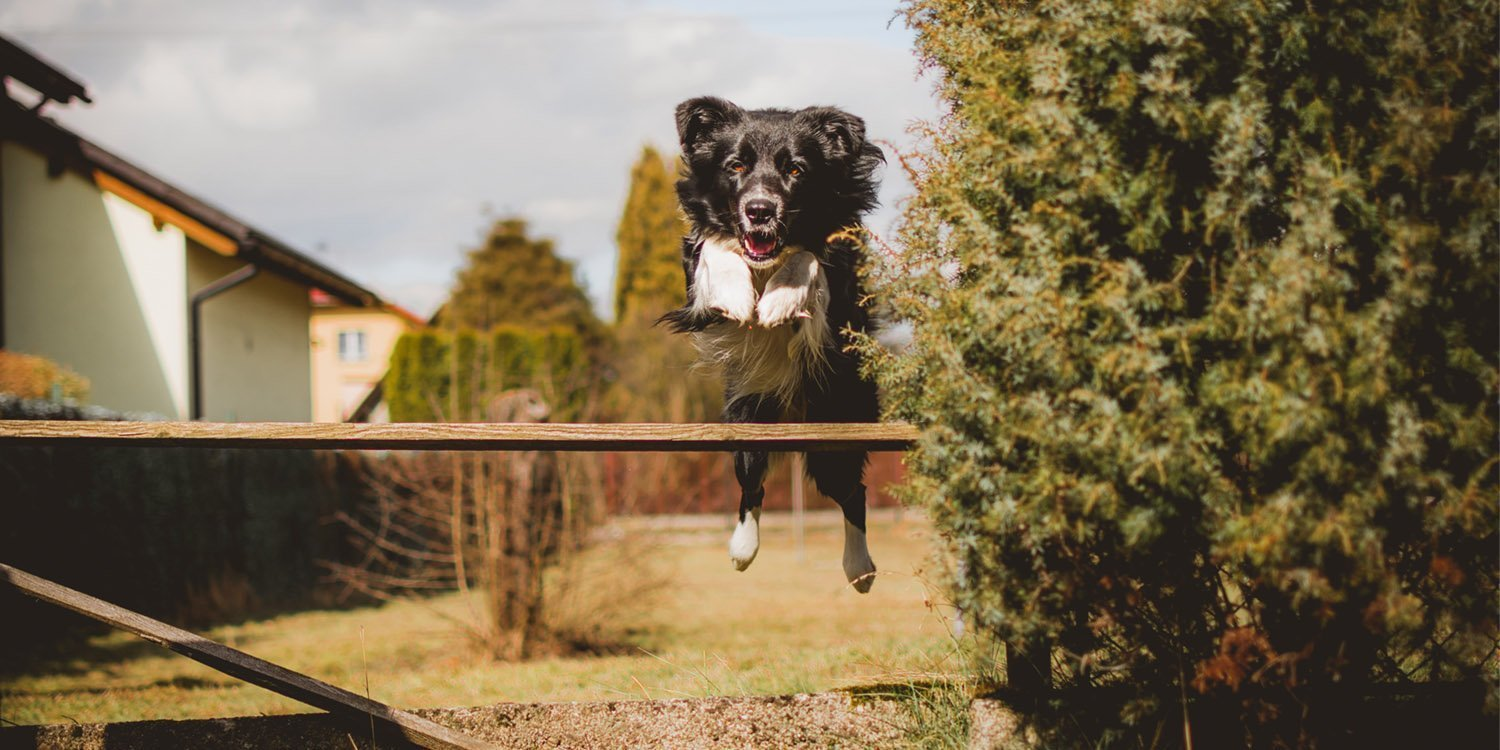 Black medium coated dog jumping over wood plank