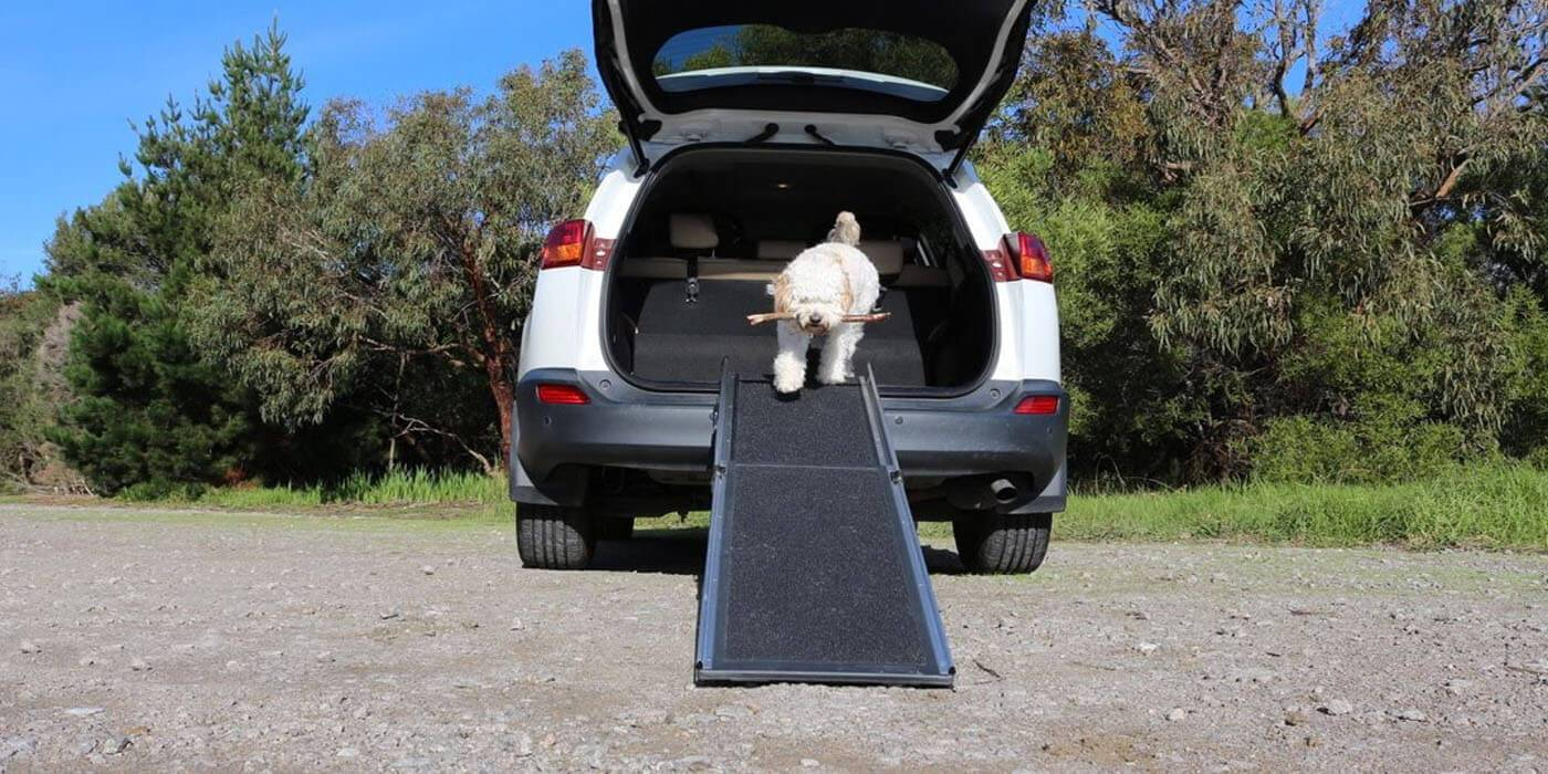 A white furry dog walking down a ramp from a car's trunk