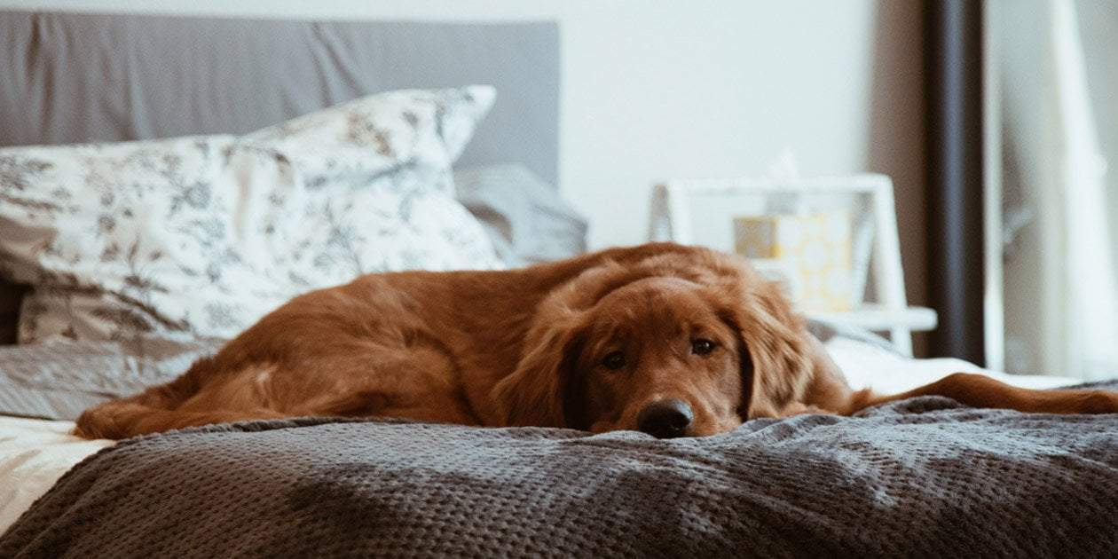 short-coated brown dog lying on the bed