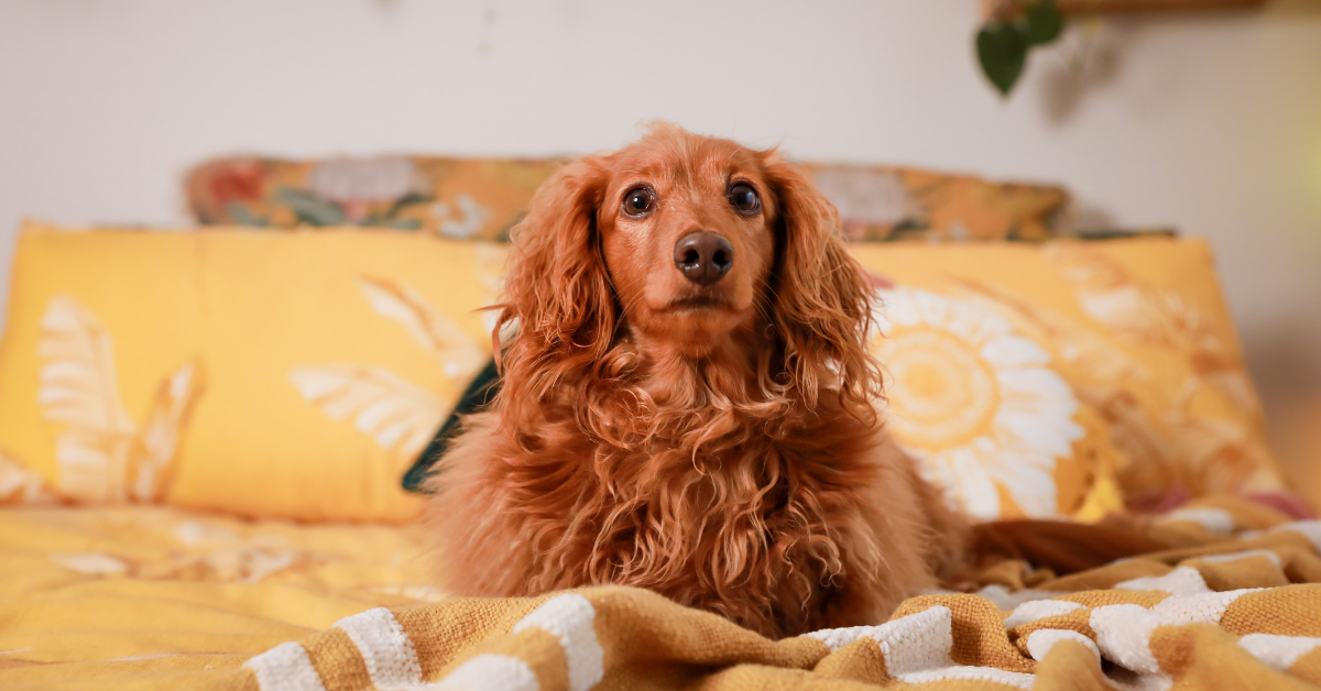 Golden long haired dachshund puppy sitting on a yellow bed