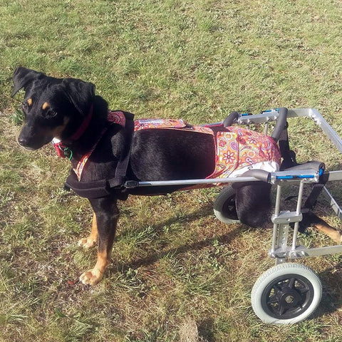 Lady, the paraplegic dog on her mobility cart