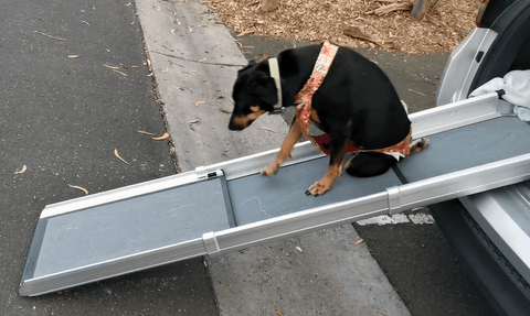 Paraplegic dog using a ramp