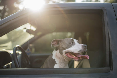 adult short-coated gray and white dog in car