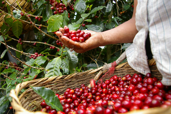 Ovalware specialty coffeeware blog planting and harvesting coffee cherry worldwide