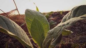 What is Brazilian Tobacco?