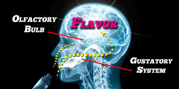 How does taste work? Olfactory bulb and gustatory system