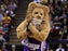 Sacramento Kings Lion