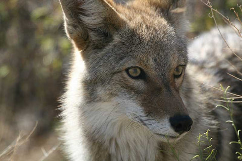 The Rise In Coyote Attacks Protect Pets Now