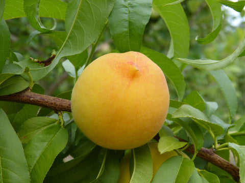 Canada Celebrates National Peach Month Deerbusters Canada