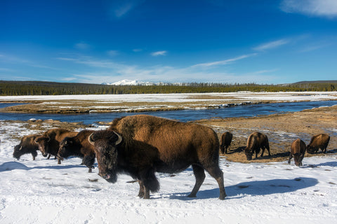 Facts About Wood Bison Deerbusters Canada
