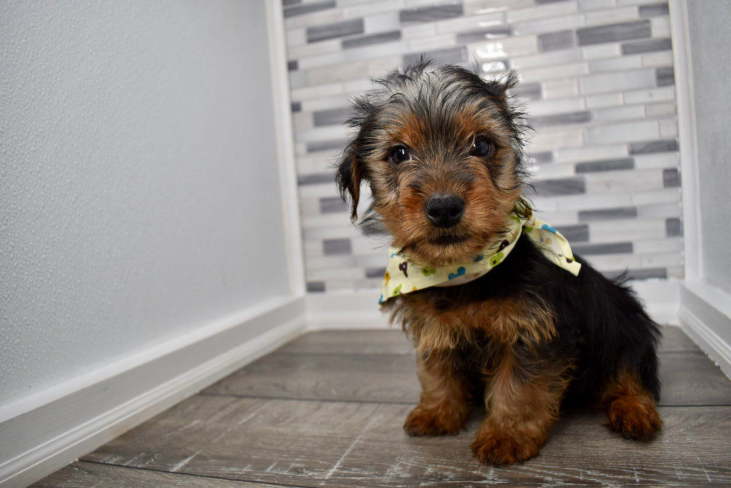 Bogey Male Teacup Yorkie Puppy