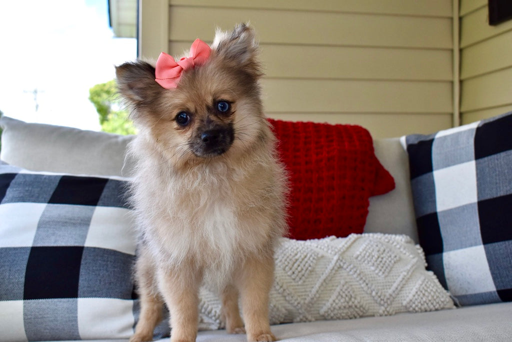*RESERVED* *4 Week Pre-Trained* Mitzy Female Teacup Pomeranian Puppy