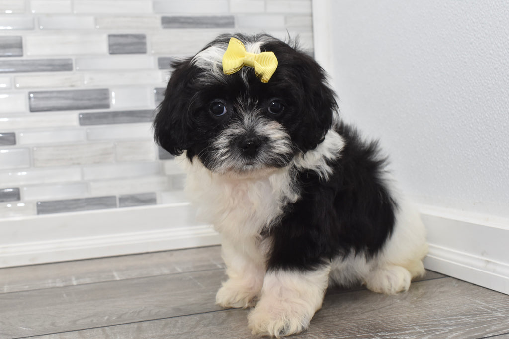 Elloise Female Teacup Teddy Bear Puppy