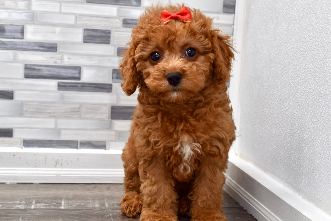 *RESERVED* Jessie Female F1B Mini Cockapoo Puppy