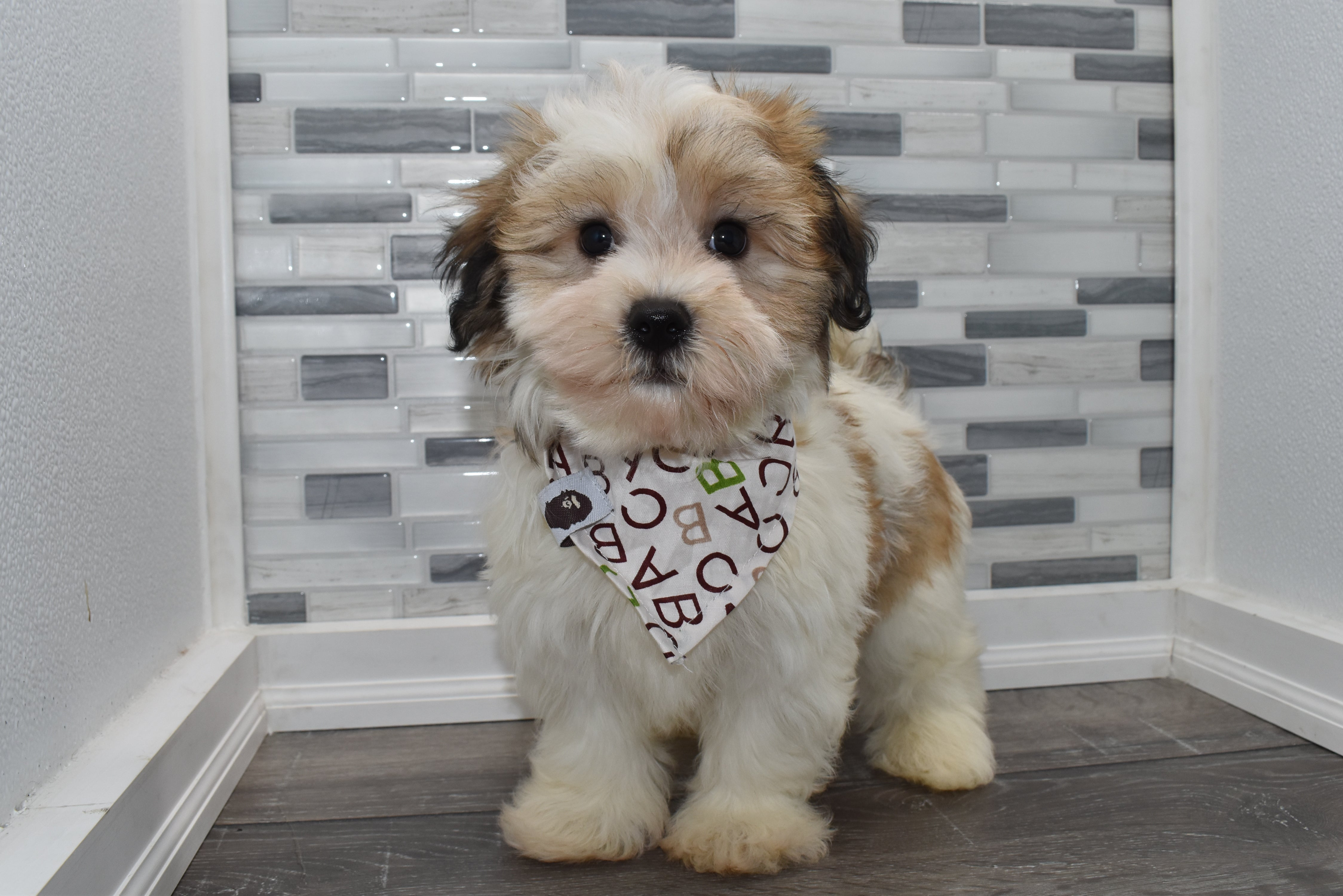 *RESERVED*Jeckyll Male Teacup Havanese Puppy